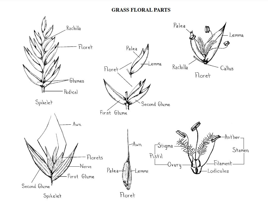 Figure 2 Grass Floral Parts Credit Norman Melvin Usda
